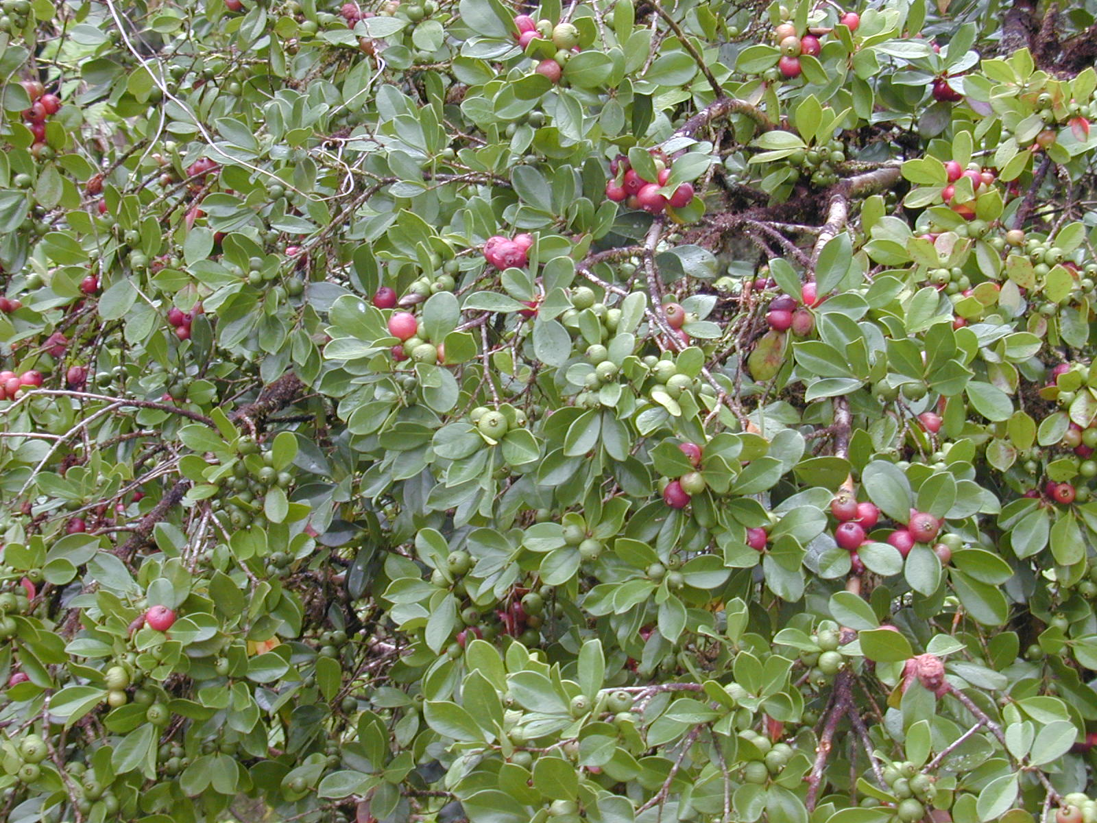 Strawberry guava — Maui Invasive Species Committee (MISC)