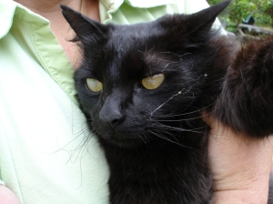 A cat on the big island blinded from a fungal infection, the likely outcome of little fire ant stings. MISC file photo.