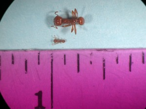 Don't confuse the little fire ant with the much larger and widspread tropical fire ant (above). Photo courtesy of HDOA