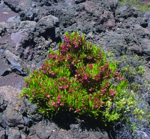This 'a'ali'i grows on the slopes of Haleakalā, but it has also taken over rangeland in Kenya. Photo courtesy of Forest & Kim Starr.