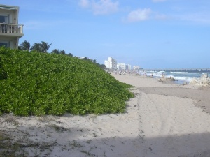 Native to Hawaii, naupaka, or Scaevola taccada ,  invades a beach in Fort Lauderdale, Florida. Naupaka chokes out plants native to Florida and may alter nesting habitat for sea turtles. Photo courtesy of Forest & Kim Starr.