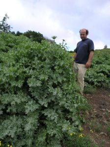 Blessed milk thistle, or Silybum marianum, isn't so holy when it forms prickly, invasive thickets. Conservationists quick to eradicate it from Maui pastures. Photo courtesy of Maui Invasive Species Committee