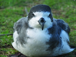 The Hawaiian Petrel or 'ua'u  is one of several species that cold benefit from a predator proof fence on West Maui. photo by jay Penniman