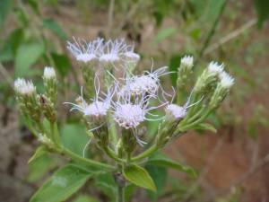 Flowers of devil weed can be lilac to white in color and often have a tangled appearance. Photo courtesy of Oahu Army Natural Resources Program.