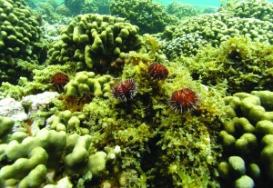 Native collector urchins dine happily on invasive alage in Kāne'ohe Bay. Photo courtesy of Photo courtesy of Hawaii Department of Land and Natural Resources-Division of Aquatic Resources