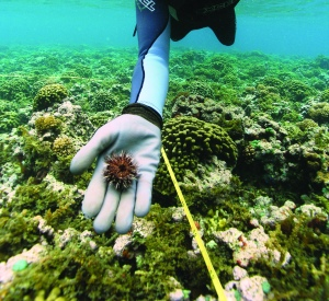 A diver holds native collector ucrhin in his hand. Monitoring has shown these tiny urchins are successfully controlling  invasive algae.  Photo courtesy of Hawaii Department of Land and Natural Resources-Division of Aquatic Resources